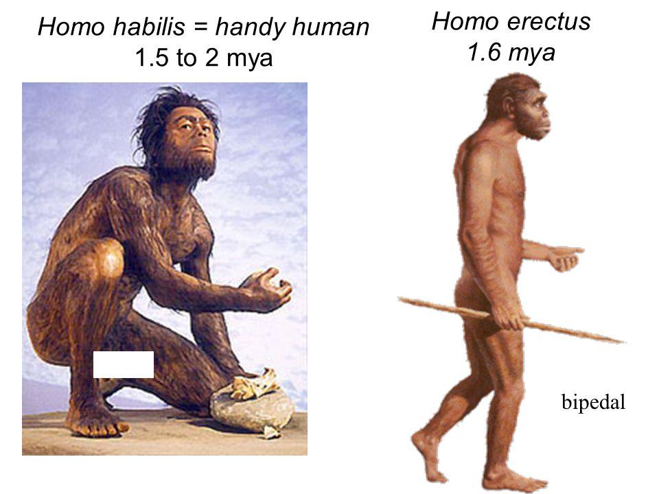 Homo habilis = handy human 1.5 to 2 mya Homo erectus 1.6 mya bipedal