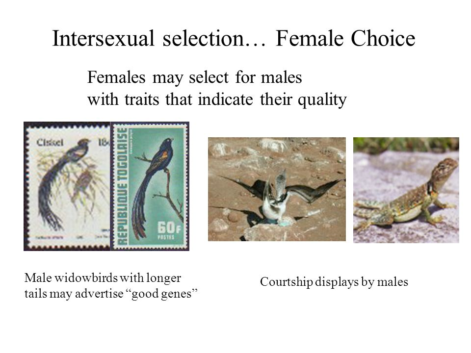 Intersexual selection… Female Choice Females may select for males with traits that indicate their quality Male widowbirds with longer tails may advert