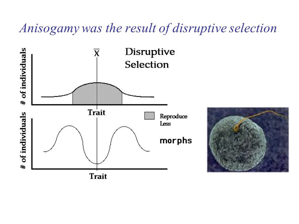 Anisogamy was the result of disruptive selection