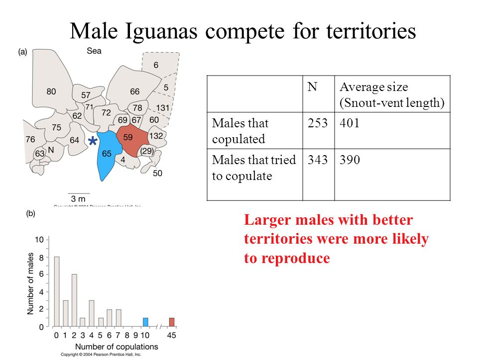Male Iguanas compete for territories NAverage size (Snout-vent length) Males that copulated 253401 Males that tried to copulate 343390 Larger males with better territories were more likely to reproduce