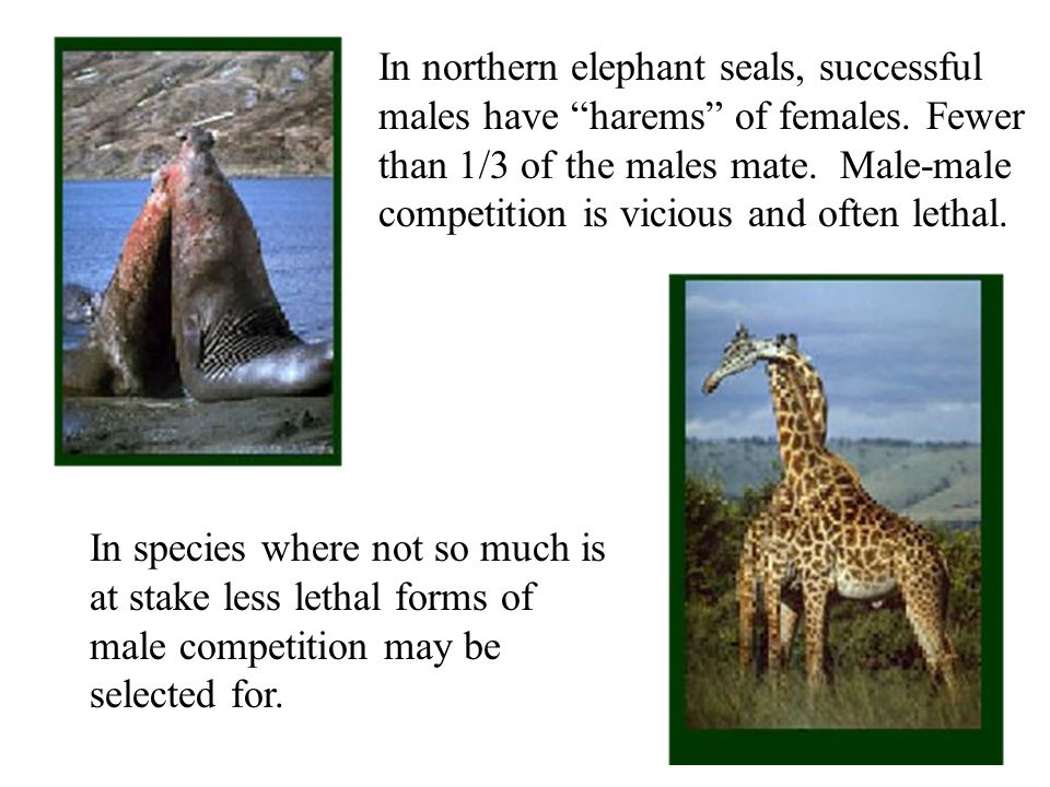 In northern elephant seals, successful males have harems of females.