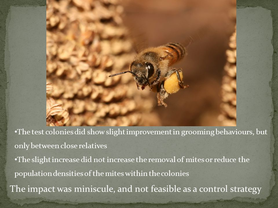 The impact was miniscule, and not feasible as a control strategy The test colonies did show slight improvement in grooming behaviours, but only between close relatives The slight increase did not increase the removal of mites or reduce the population densities of the mites within the colonies