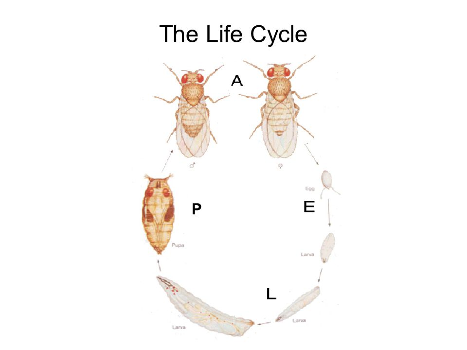 The Life Cycle P
