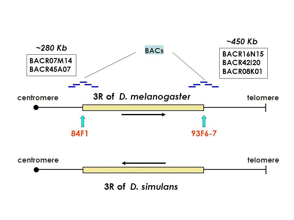 centromeretelomere 3R of D. melanogaster centromeretelomere 3R of D. simulans BACs 84F193F6-7 BACR07M14 BACR45A07 BACR16N15 BACR42I20 BACR08K01 ~280 K