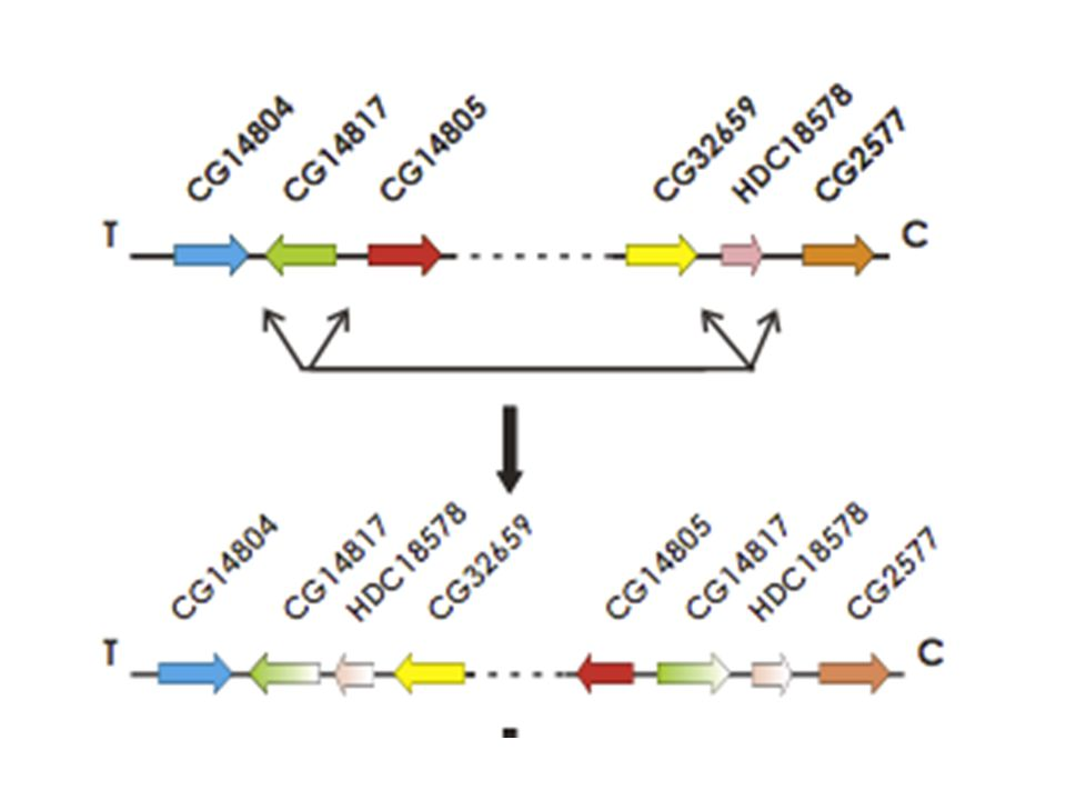 Flanking duplications are a common by-product of the genome reorganization between D.