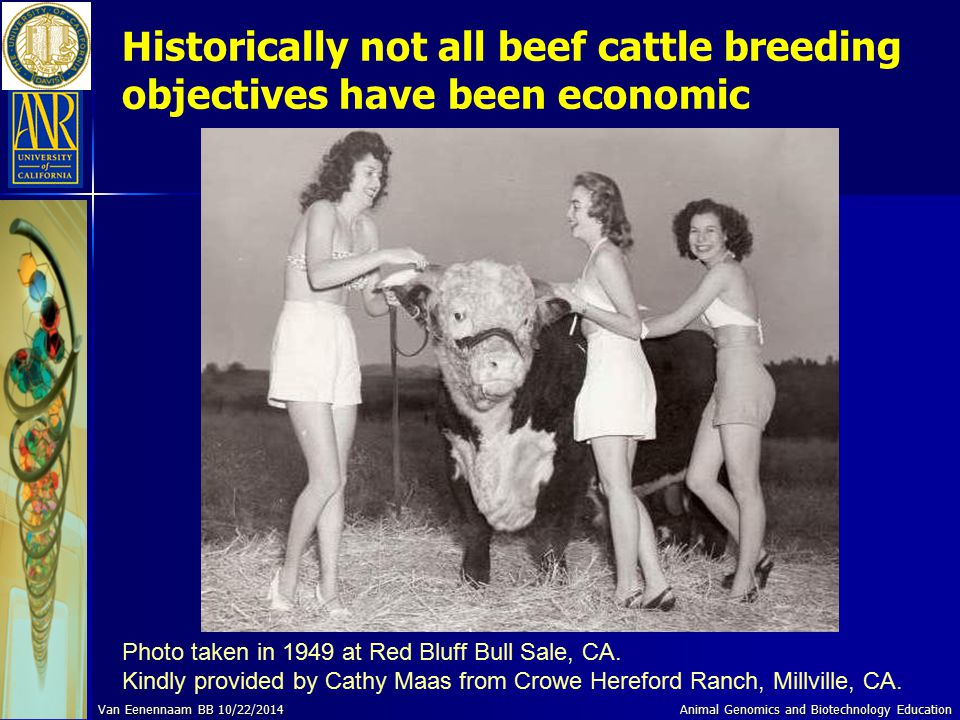 Historically not all beef cattle breeding objectives have been economic Photo taken in 1949 at Red Bluff Bull Sale, CA. Kindly provided by Cathy Maas