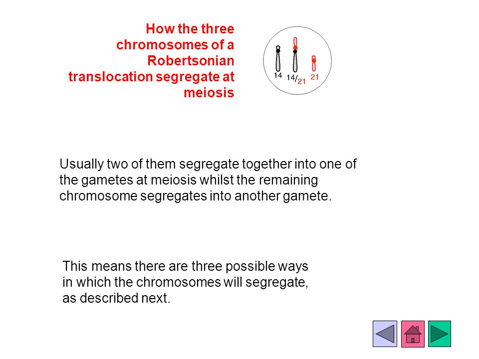 How the three chromosomes of a Robertsonian translocation segregate at meiosis Usually two of them segregate together into one of the gametes at meios