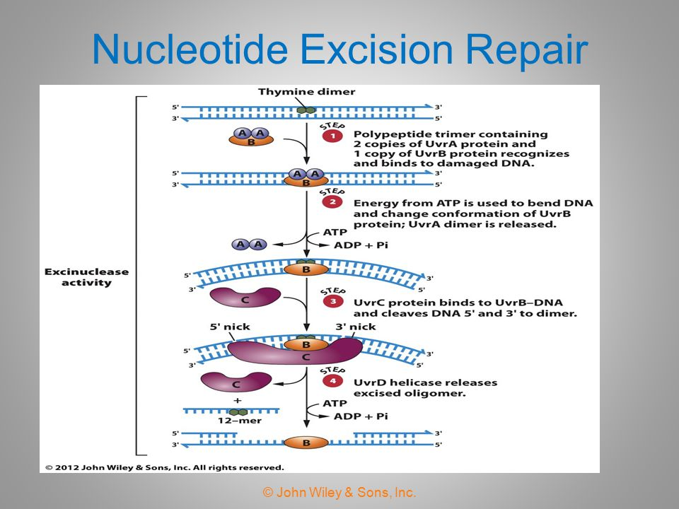 Nucleotide Excision Repair © John Wiley & Sons, Inc.