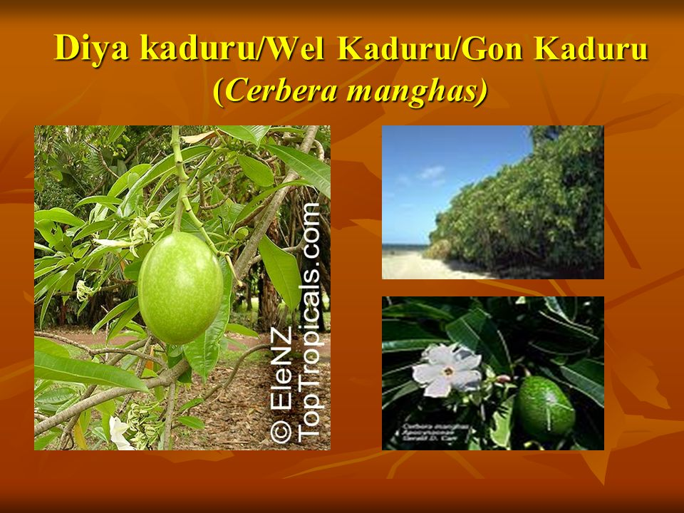 Diya kaduru /Wel Kaduru/Gon Kaduru (Cerbera manghas)