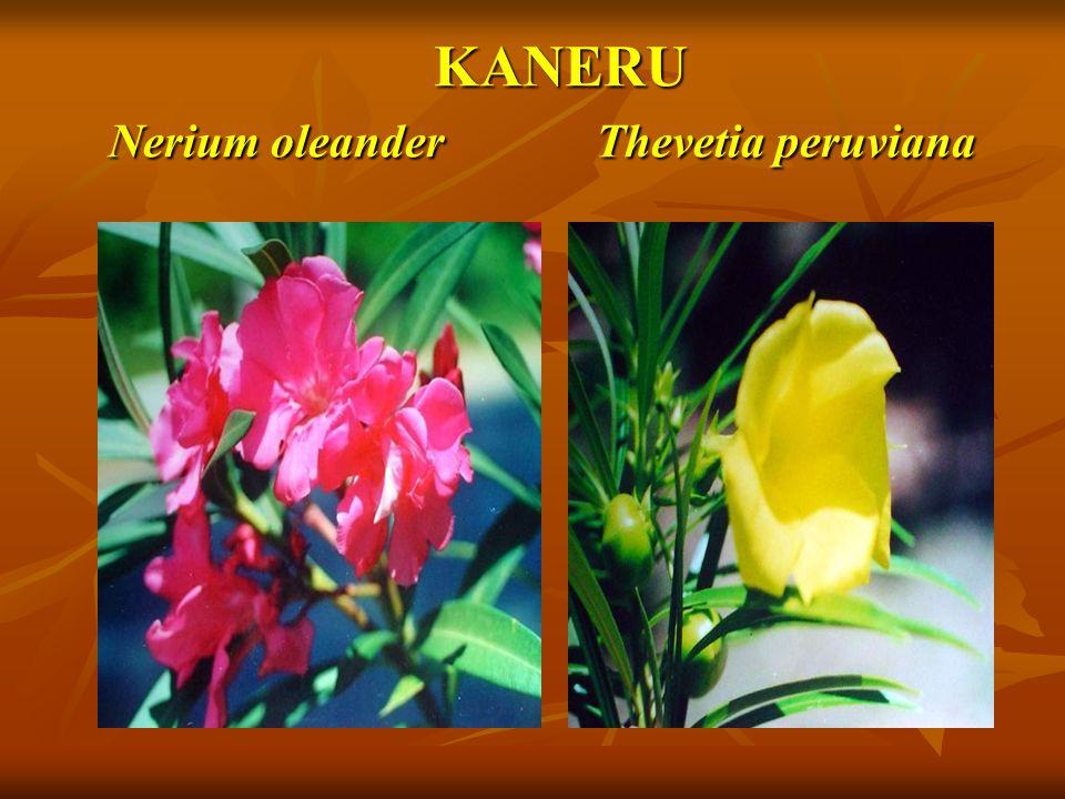 KANERU Nerium oleander Thevetia peruviana KANERU Nerium oleander Thevetia peruviana