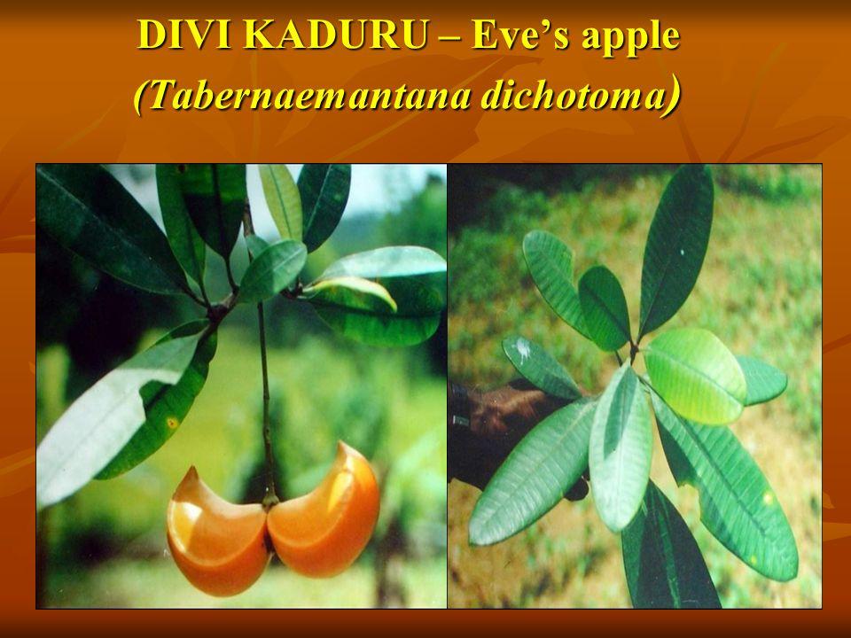 DIVI KADURU – Eve's apple (Tabernaemantana dichotoma )