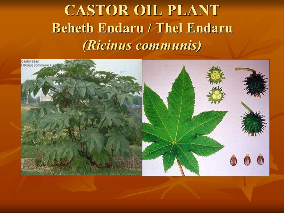 CASTOR OIL PLANT Beheth Endaru / Thel Endaru (Ricinus communis)