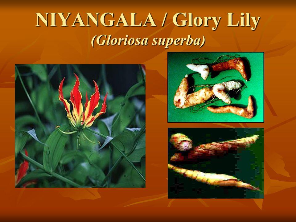 NIYANGALA / Glory Lily (Gloriosa superba)