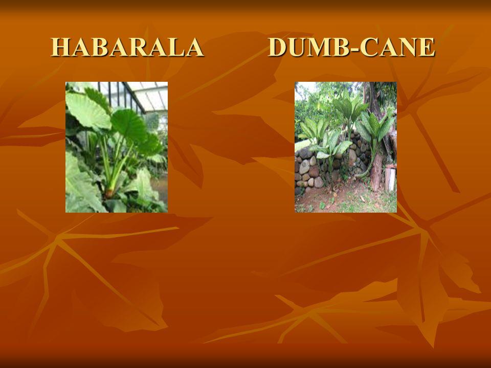 HABARALA DUMB-CANE HABARALA DUMB-CANE