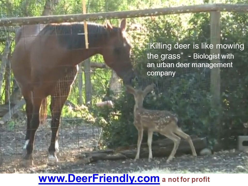 "www.DeerFriendly.comwww.DeerFriendly.com a not for profit ""Killing deer is like mowing the grass"" - Biologist with an urban deer management company"