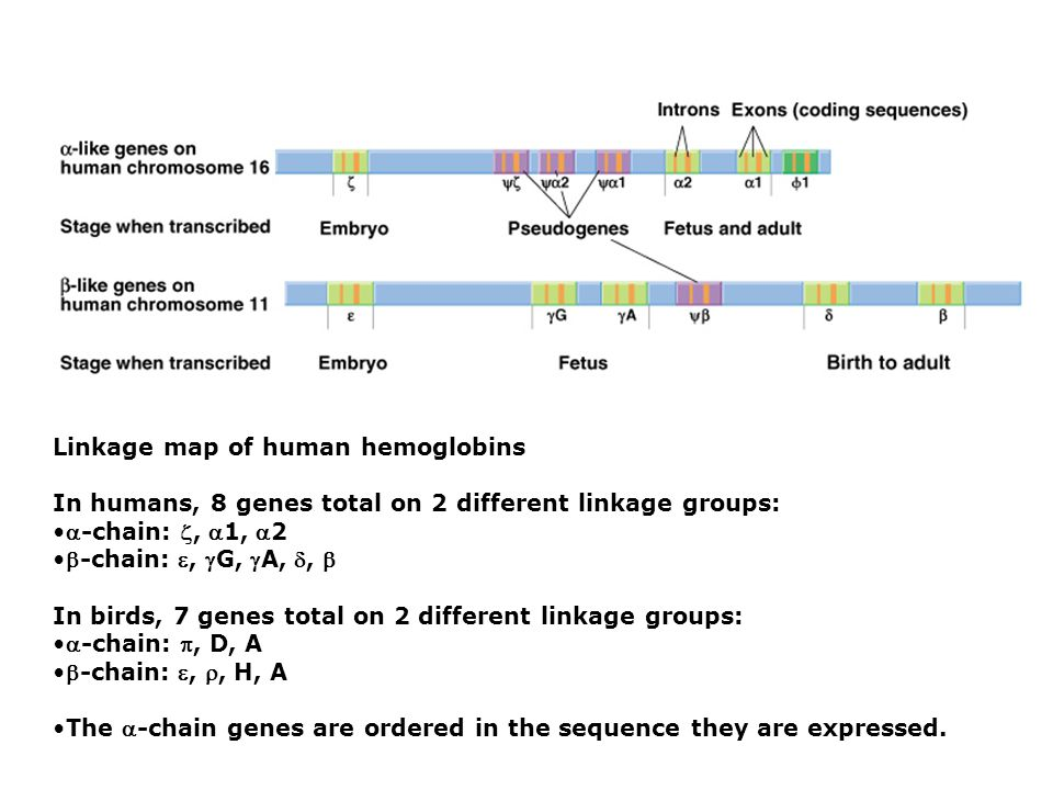 Linkage map of human hemoglobins In humans, 8 genes total on 2 different linkage groups: -chain: , 1, 2 -chain: , G, A, ,  In birds, 7 genes