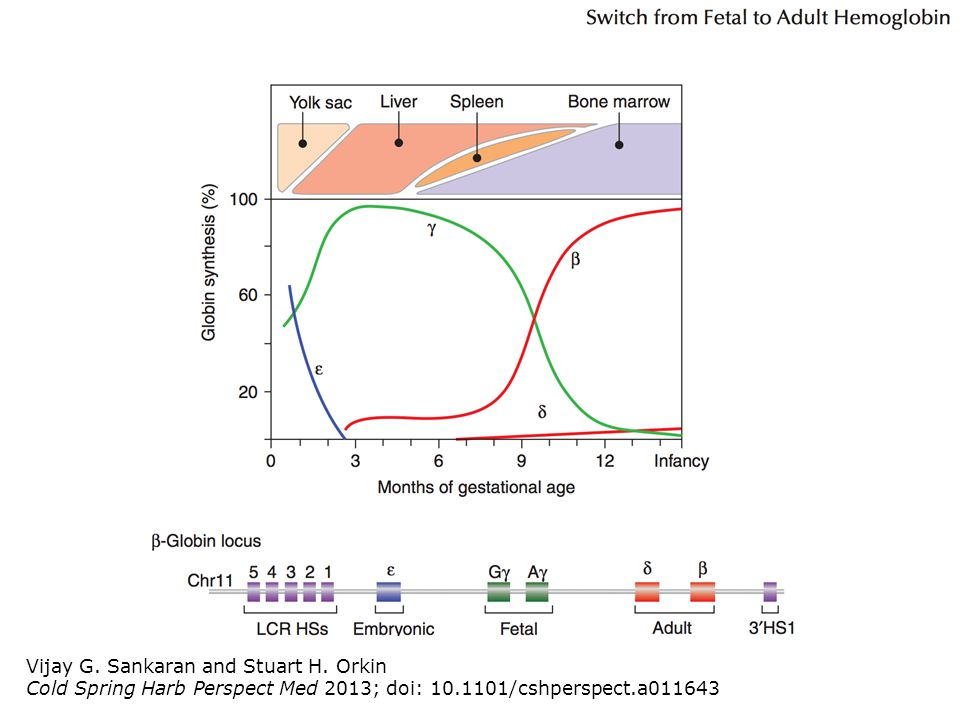 Vijay G. Sankaran and Stuart H. Orkin Cold Spring Harb Perspect Med 2013; doi: 10.1101/cshperspect.a011643