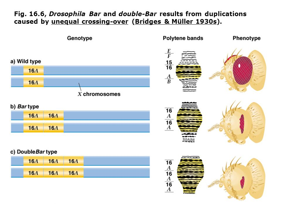 Fig. 16.6, Drosophila Bar and double-Bar results from duplications caused by unequal crossing-over (Bridges & Müller 1930s).