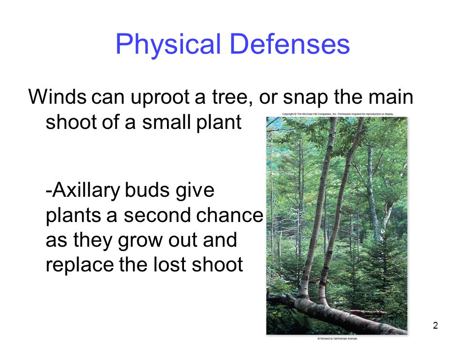 2 Physical Defenses Winds can uproot a tree, or snap the main shoot of a small plant -Axillary buds give plants a second chance as they grow out and r