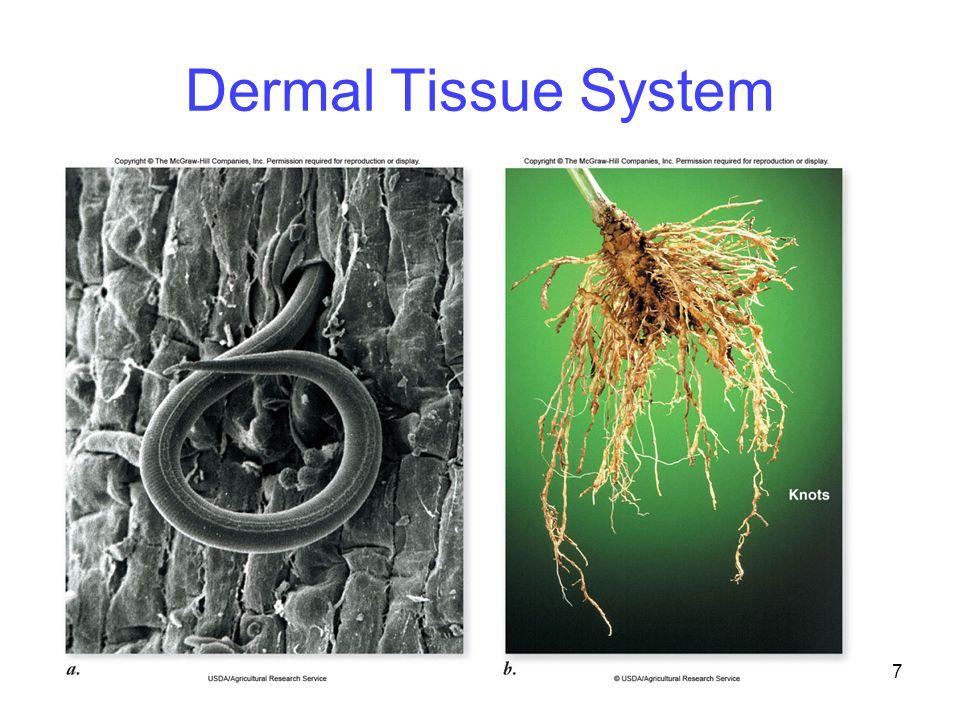 7 Dermal Tissue System