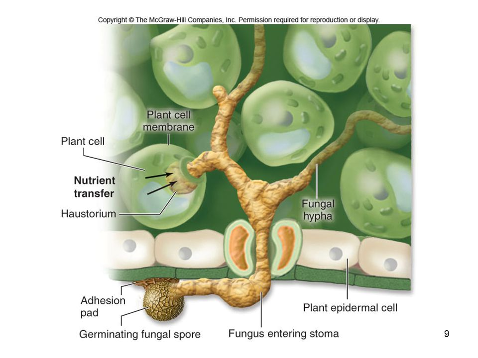 10 Beneficial Microorganisms Fungi and bacteria can also be beneficial to plants -Mycorrhizal fungi -Nitrogen-fixing bacteria -Plant growth-promoting rhizobia (PGPR) -These provide various nutrients for plants