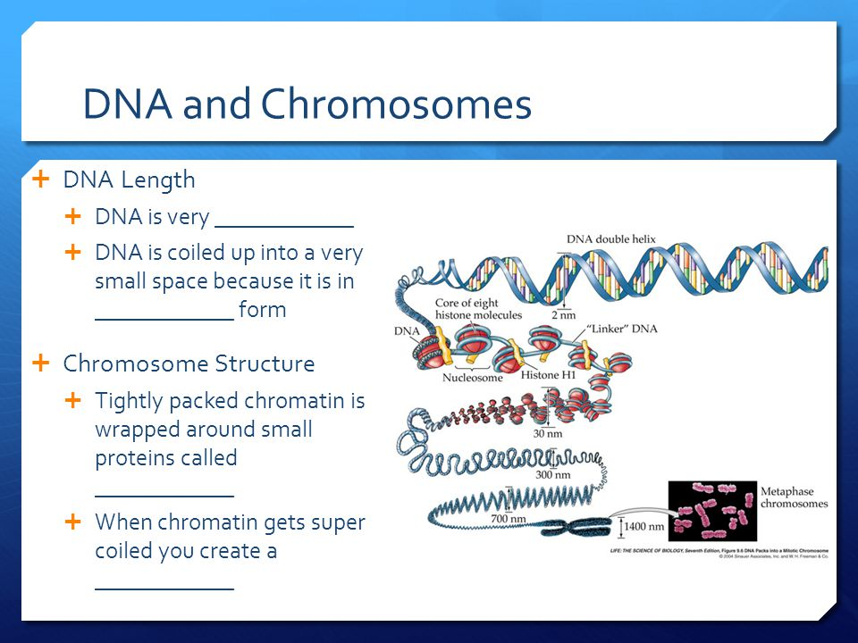 DNA and Chromosomes  DNA Length  DNA is very ____________  DNA is coiled up into a very small space because it is in ____________ form  Chromosome Structure  Tightly packed chromatin is wrapped around small proteins called ____________  When chromatin gets super coiled you create a ____________