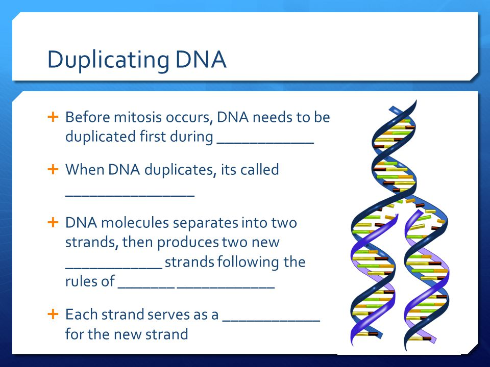 Duplicating DNA  Before mitosis occurs, DNA needs to be duplicated first during ____________  When DNA duplicates, its called ________________  DNA molecules separates into two strands, then produces two new ____________ strands following the rules of _______ ____________  Each strand serves as a ____________ for the new strand