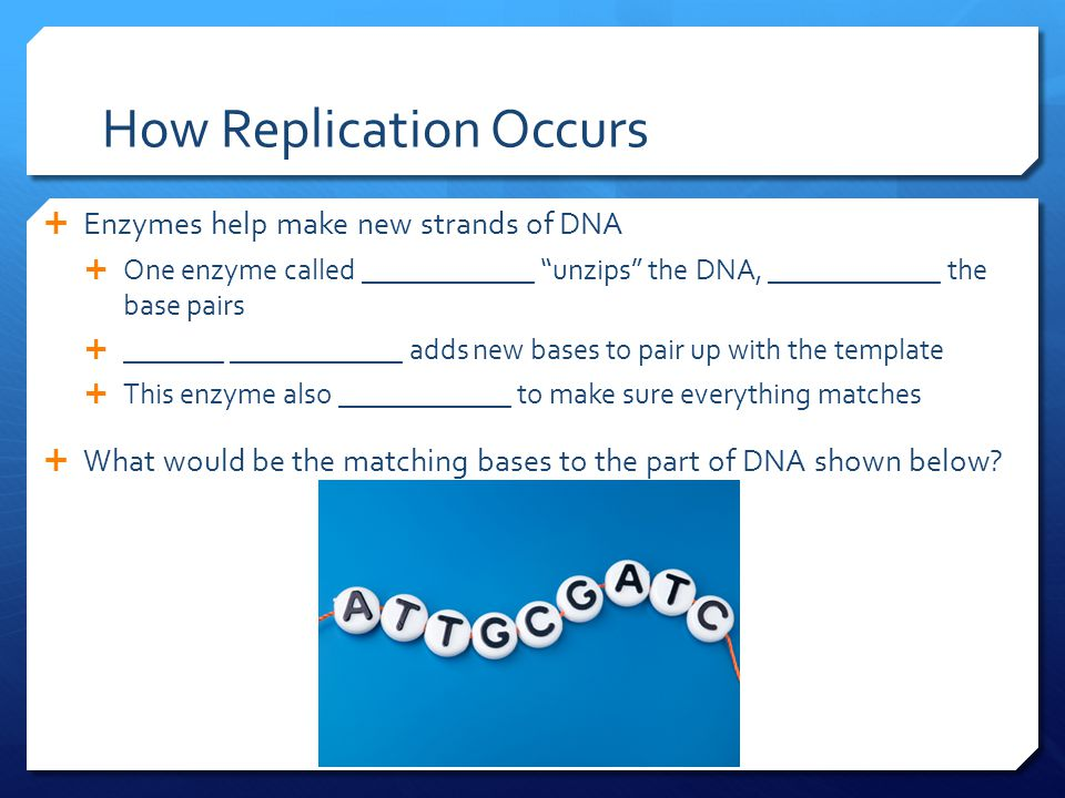 How Replication Occurs  Enzymes help make new strands of DNA  One enzyme called ____________ unzips the DNA, ____________ the base pairs  _______ ____________ adds new bases to pair up with the template  This enzyme also ____________ to make sure everything matches  What would be the matching bases to the part of DNA shown below?
