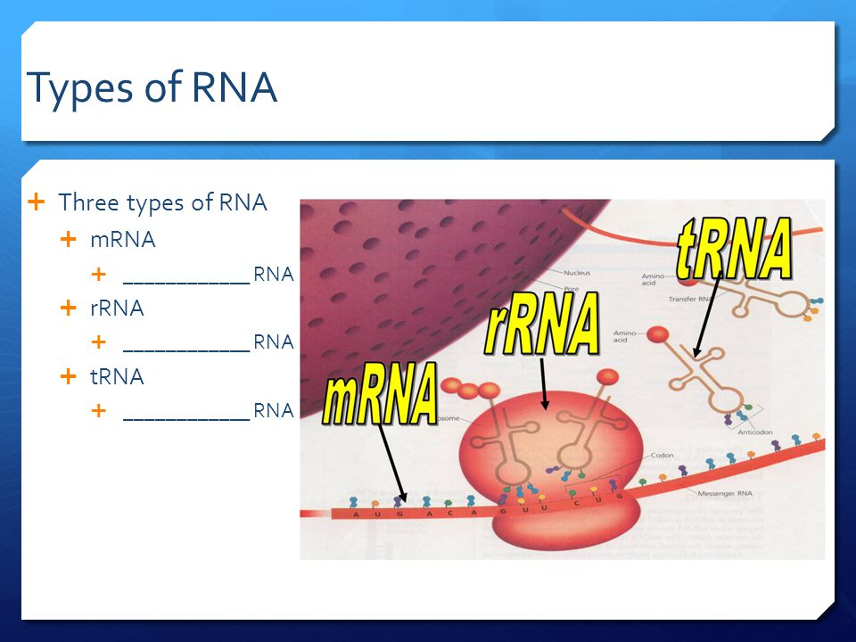 Types of RNA  Three types of RNA  mRNA  ____________ RNA  rRNA  ____________ RNA  tRNA  ____________ RNA