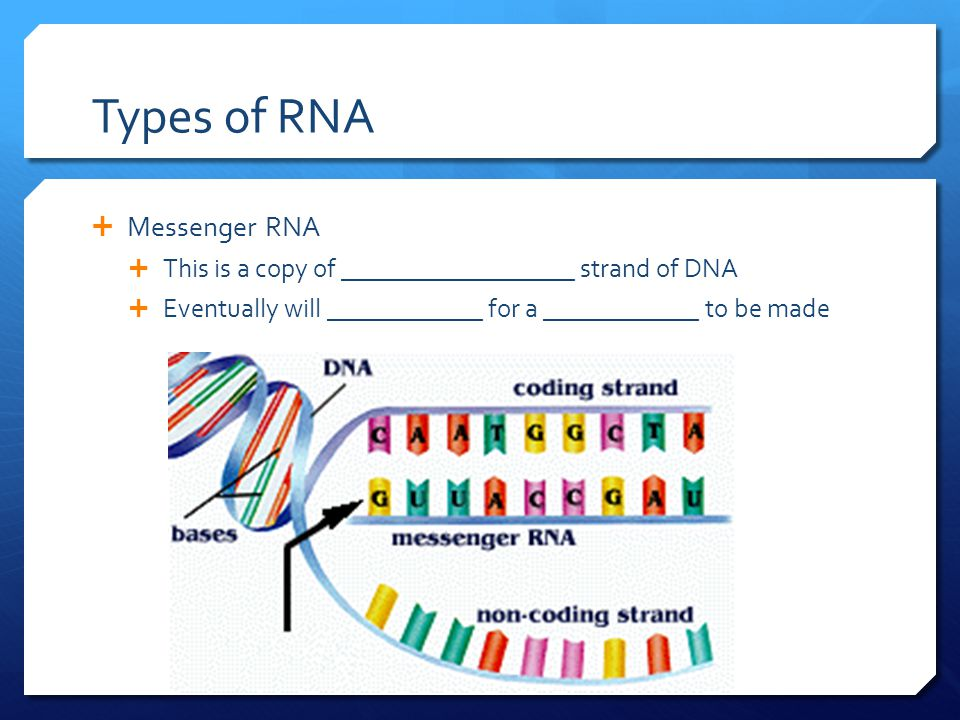Types of RNA  Messenger RNA  This is a copy of __________________ strand of DNA  Eventually will ____________ for a ____________ to be made