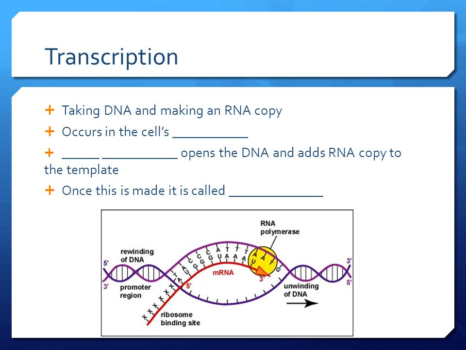 Transcription  Taking DNA and making an RNA copy  Occurs in the cell's ____________  ______ ____________ opens the DNA and adds RNA copy to the template  Once this is made it is called _______________