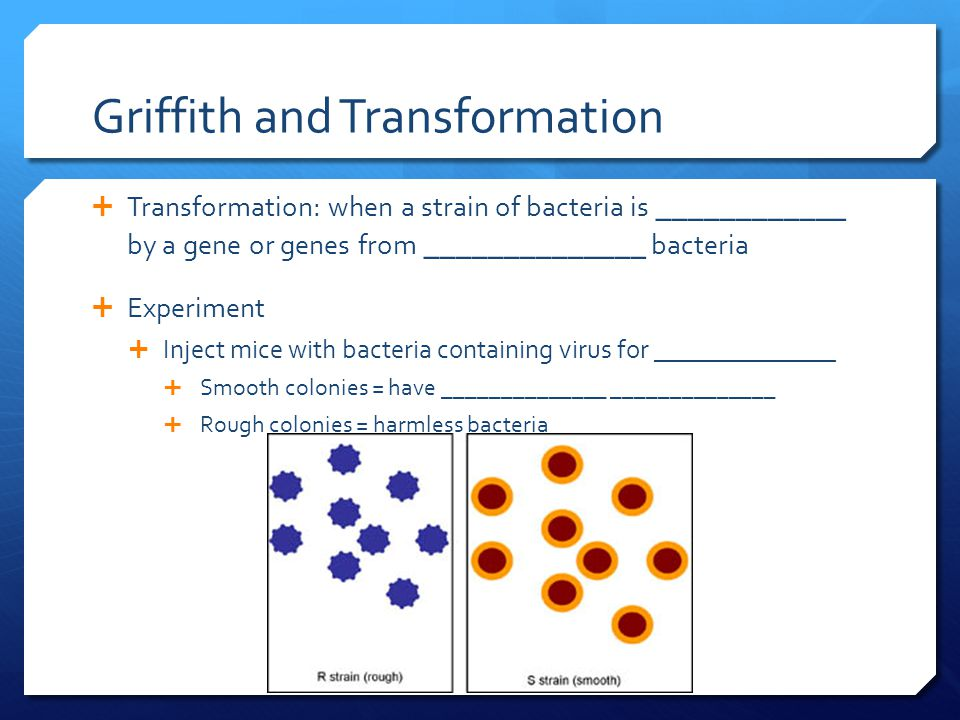 Griffith and Transformation  Transformation: when a strain of bacteria is ____________ by a gene or genes from ______________ bacteria  Experiment  Inject mice with bacteria containing virus for ______________  Smooth colonies = have ______________ ______________  Rough colonies = harmless bacteria