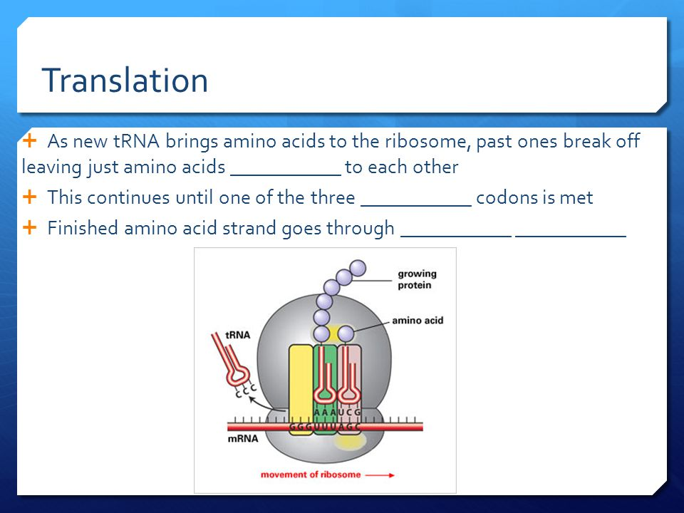 Translation  As new tRNA brings amino acids to the ribosome, past ones break off leaving just amino acids ____________ to each other  This continues until one of the three ____________ codons is met  Finished amino acid strand goes through ____________ ____________