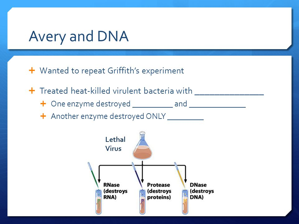 Avery and DNA  Wanted to repeat Griffith's experiment  Treated heat-killed virulent bacteria with ______________  One enzyme destroyed __________ and ______________  Another enzyme destroyed ONLY _________ Lethal Virus