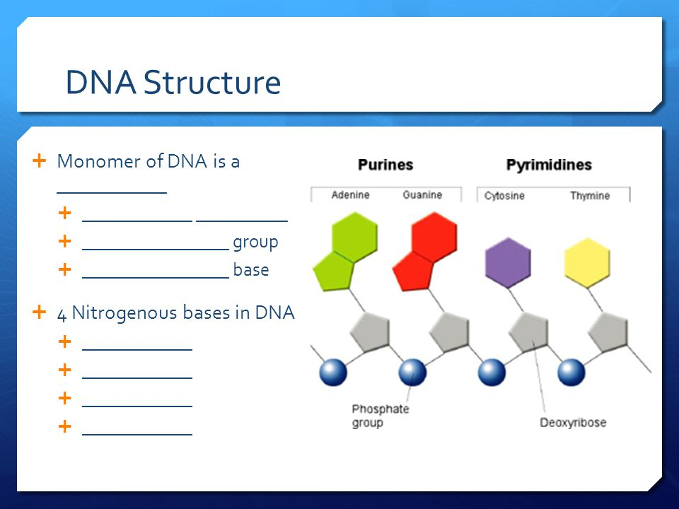 DNA Structure  Monomer of DNA is a ____________  ____________ __________  ________________ group  ________________ base  4 Nitrogenous bases in DNA  ____________