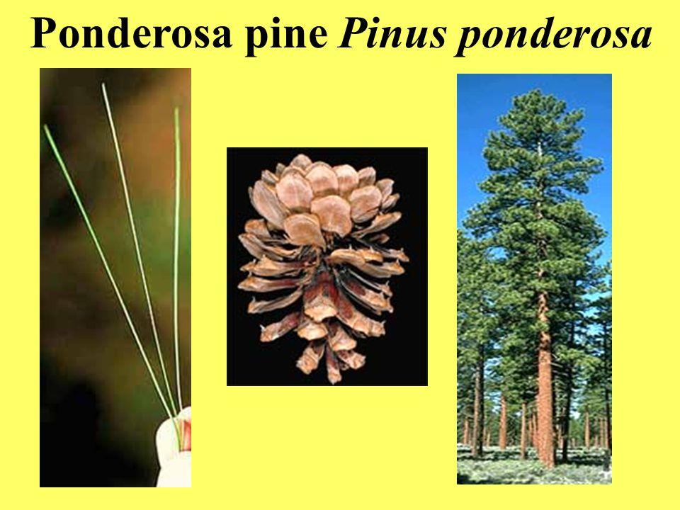 Ponderosa pine Pinus ponderosa
