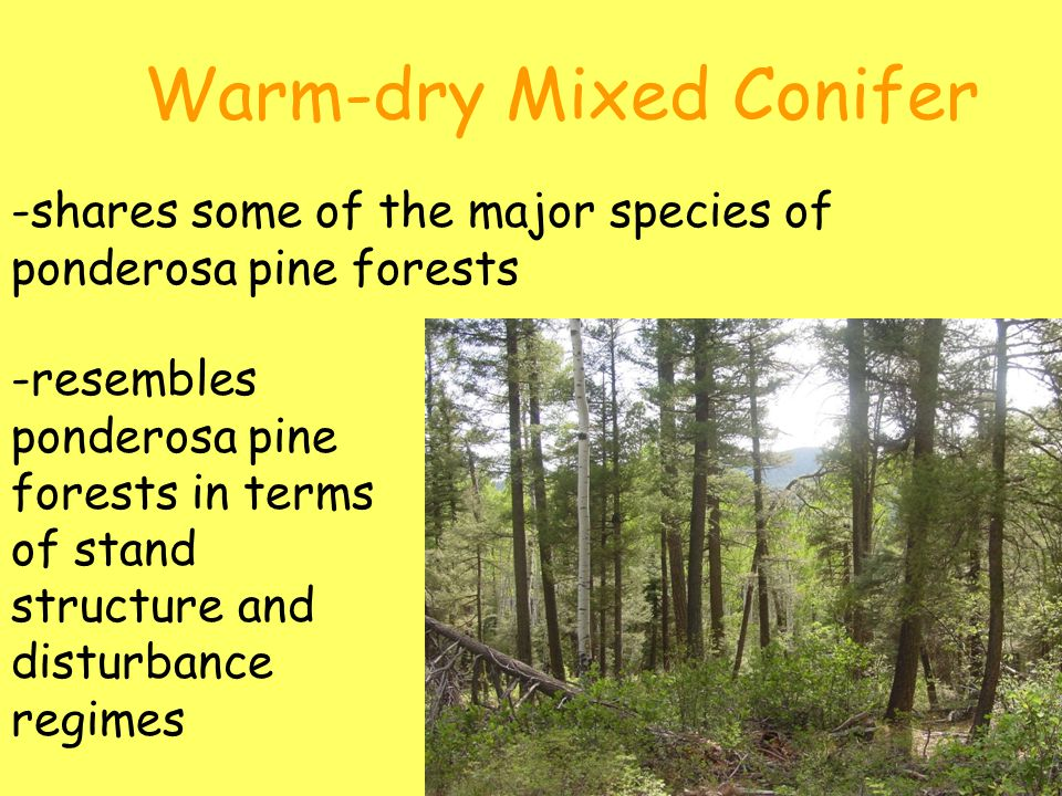 Warm-dry Mixed Conifer -shares some of the major species of ponderosa pine forests -resembles ponderosa pine forests in terms of stand structure and disturbance regimes