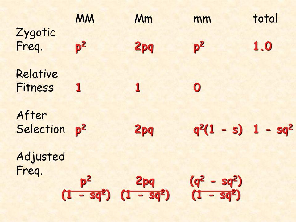 MMMmmmtotal Zygotic p 2 2pqp 2 1.0 Freq.p 2 2pqp 2 1.0 Relative 110 Fitness110 After p 2 2pqq 2 (1 - s)1 - sq 2 Selectionp 2 2pqq 2 (1 - s)1 - sq 2 Ad