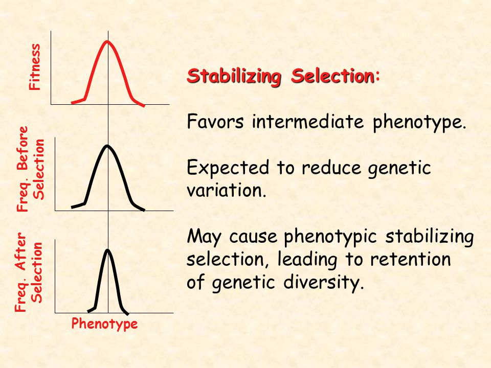 Stabilizing Selection Stabilizing Selection: Favors intermediate phenotype. Expected to reduce genetic variation. May cause phenotypic stabilizing sel