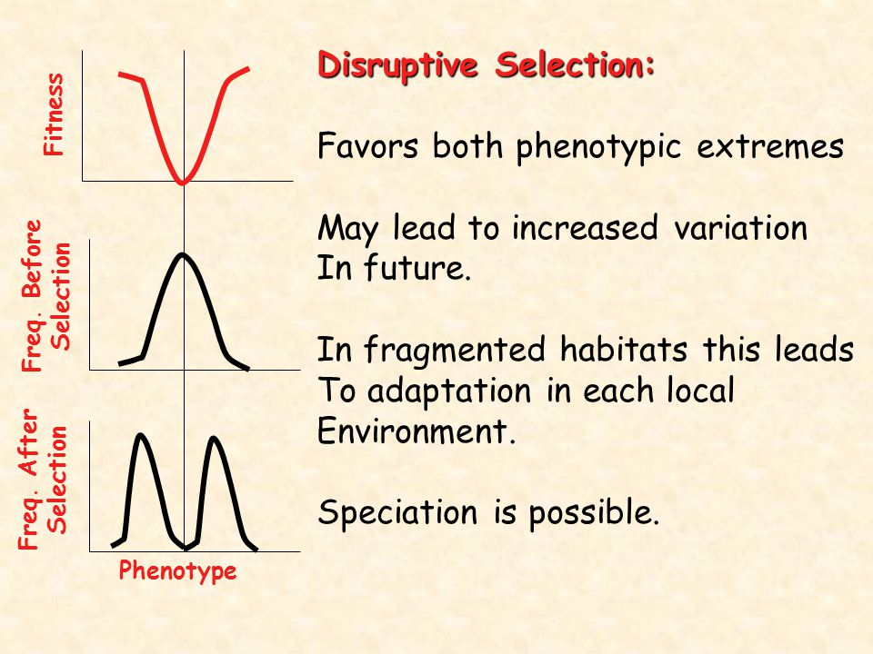 Disruptive Selection: Favors both phenotypic extremes May lead to increased variation In future. In fragmented habitats this leads To adaptation in ea