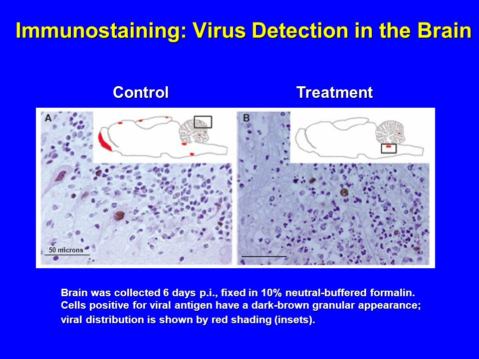 Immunostaining: Virus Detection in the Brain ControlTreatment Brain was collected 6 days p.i., fixed in 10% neutral-buffered formalin.