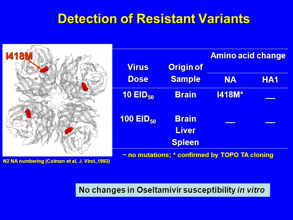 Detection of Resistant Variants VirusDose Origin of Sample Amino acid change NAHA1 10 EID 50 BrainI418M*__ 100 EID 50 BrainLiverSpleen____ − no mutations; * confirmed by TOPO TA cloning I418M N2 NA numbering (Colman et al, J.