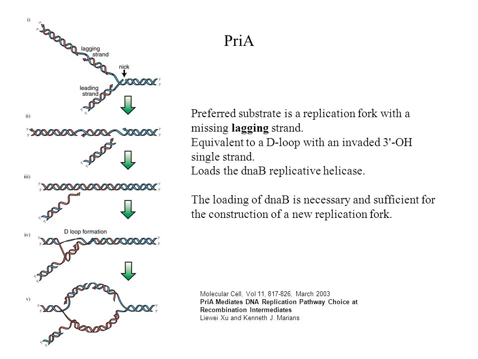 Molecular Cell, Vol 11, 817-826, March 2003 PriA Mediates DNA Replication Pathway Choice at Recombination Intermediates Liewei Xu and Kenneth J.