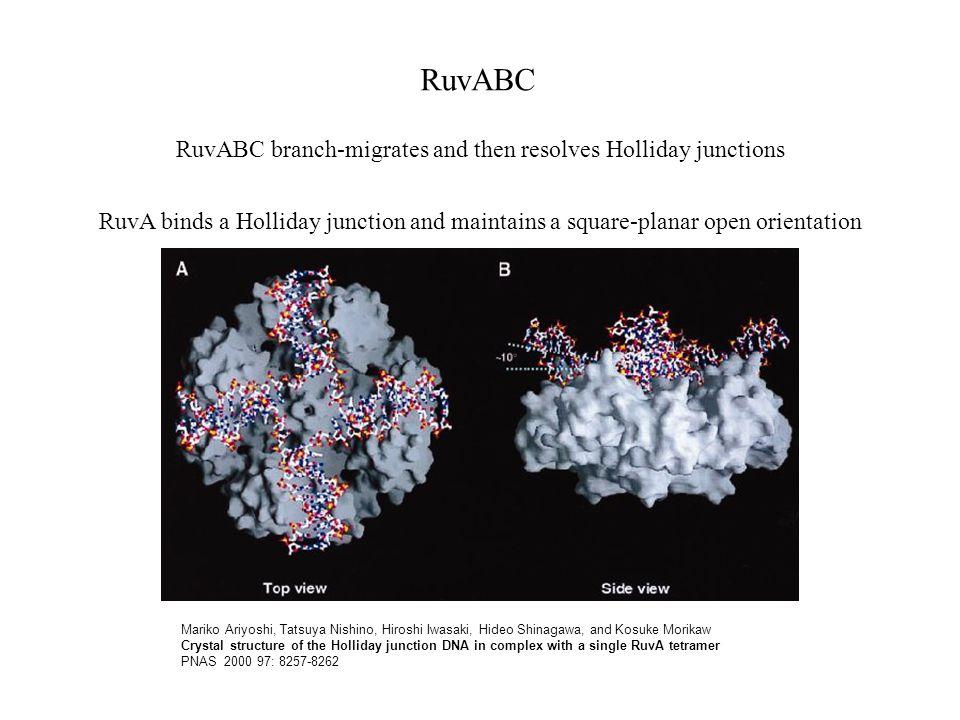 Mariko Ariyoshi, Tatsuya Nishino, Hiroshi Iwasaki, Hideo Shinagawa, and Kosuke Morikaw Crystal structure of the Holliday junction DNA in complex with a single RuvA tetramer PNAS 2000 97: 8257-8262 RuvABC RuvA binds a Holliday junction and maintains a square-planar open orientation RuvABC branch-migrates and then resolves Holliday junctions