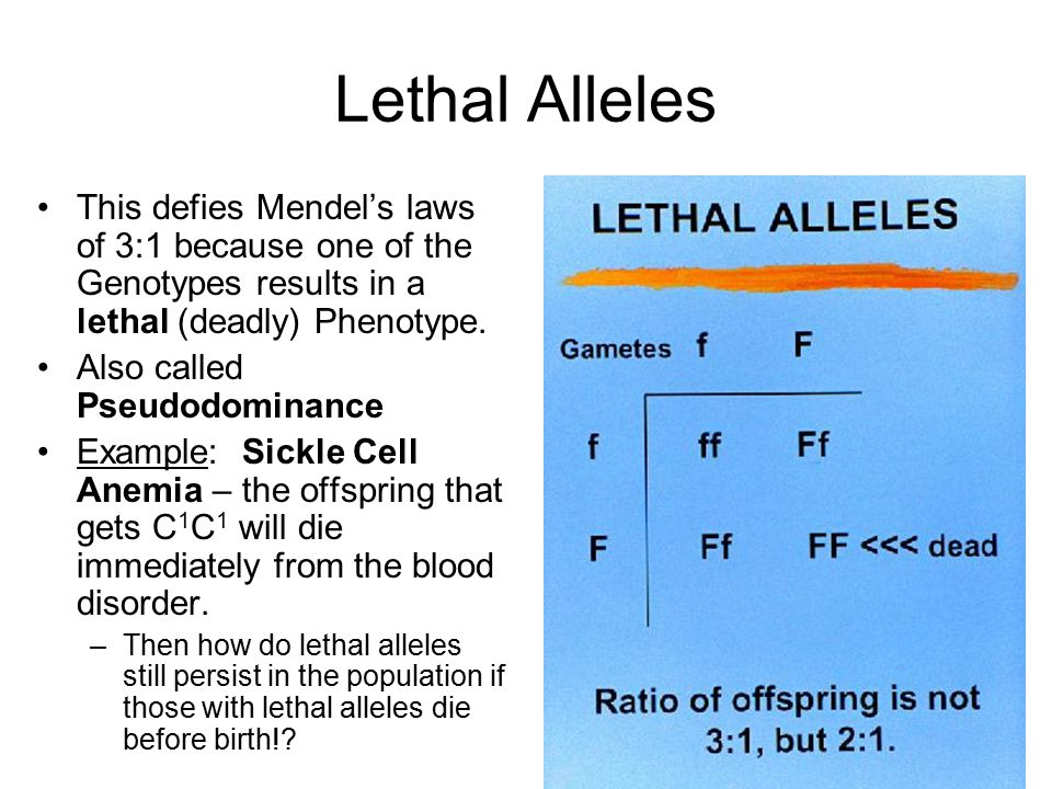Lethal Alleles This defies Mendel's laws of 3:1 because one of the Genotypes results in a lethal (deadly) Phenotype. Also called Pseudodominance Examp