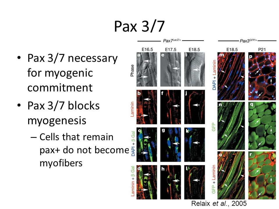 Pax 3/7 Pax 3/7 necessary for myogenic commitment Pax 3/7 blocks myogenesis – Cells that remain pax+ do not become myofibers Relaix et al., 2005