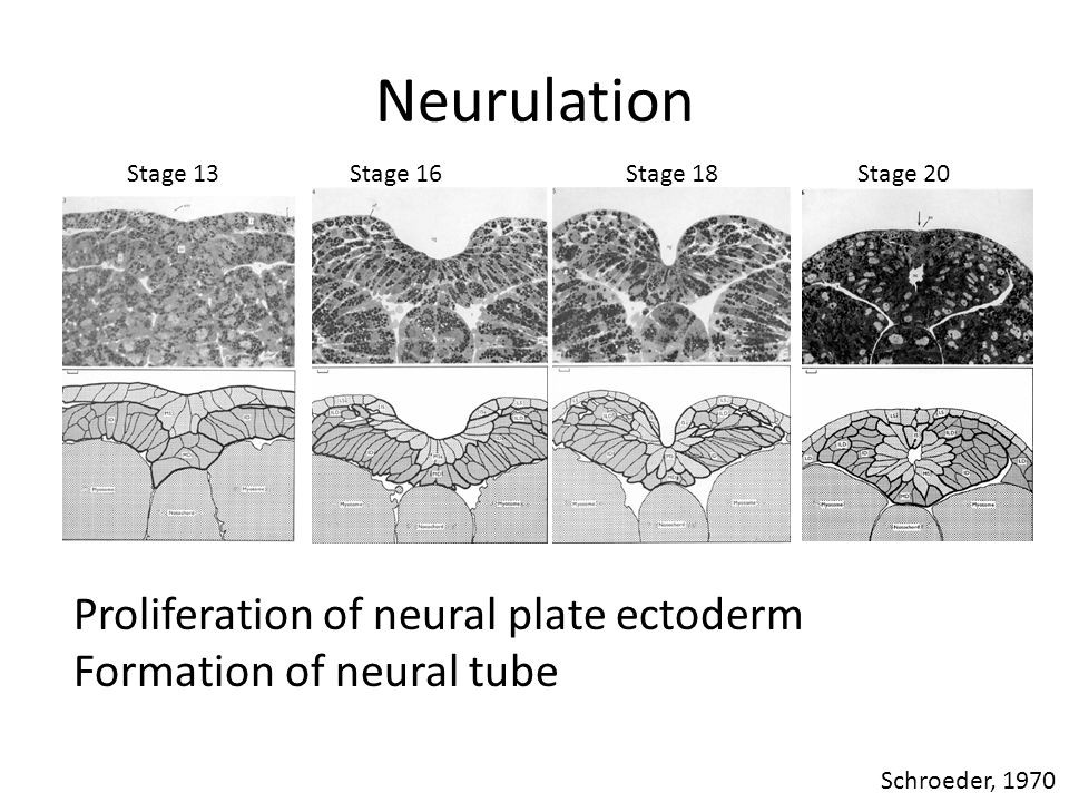 Neurulation Stage 20Stage 13Stage 16Stage 18 Schroeder, 1970 Proliferation of neural plate ectoderm Formation of neural tube