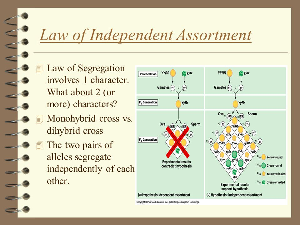 Law of Independent Assortment 4 Law of Segregation involves 1 character.