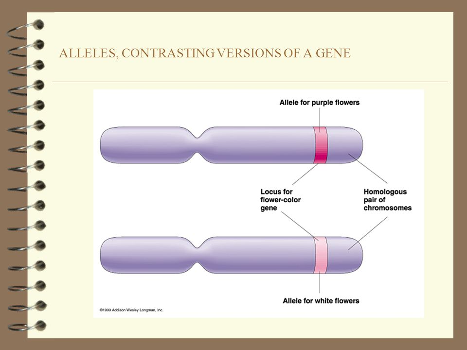 ALLELES, CONTRASTING VERSIONS OF A GENE