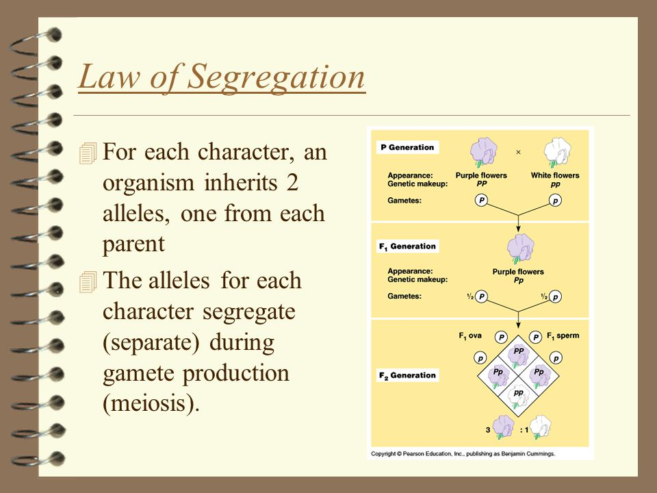 Law of Segregation 4 For each character, an organism inherits 2 alleles, one from each parent 4 The alleles for each character segregate (separate) during gamete production (meiosis).